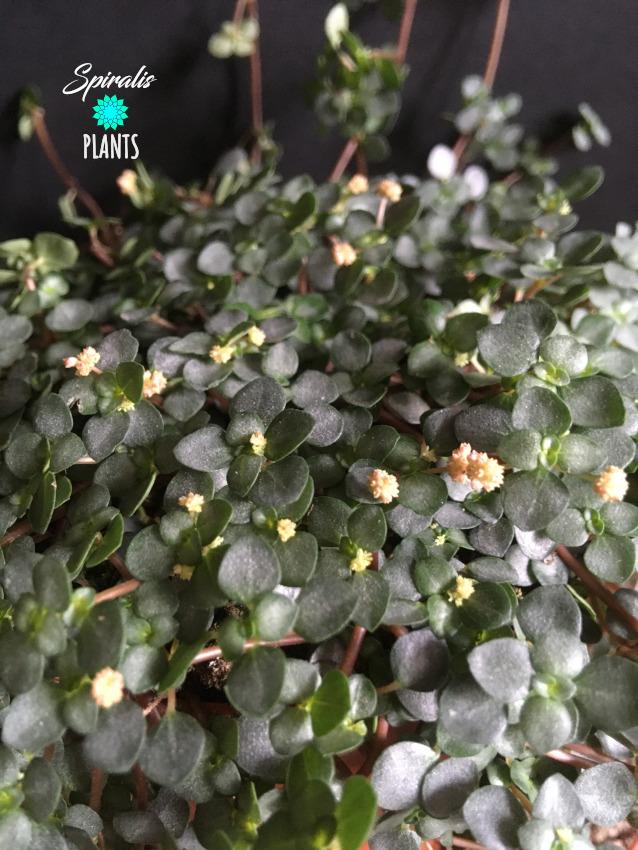 Pilea glauca libanensis flowering bloom trailing terrarium house plant
