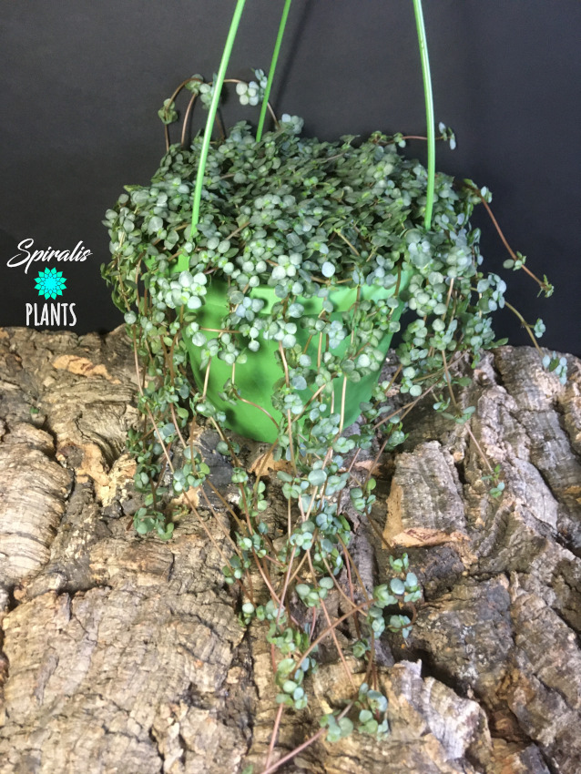 Pilea glauca libanensis hanging trailing house plant