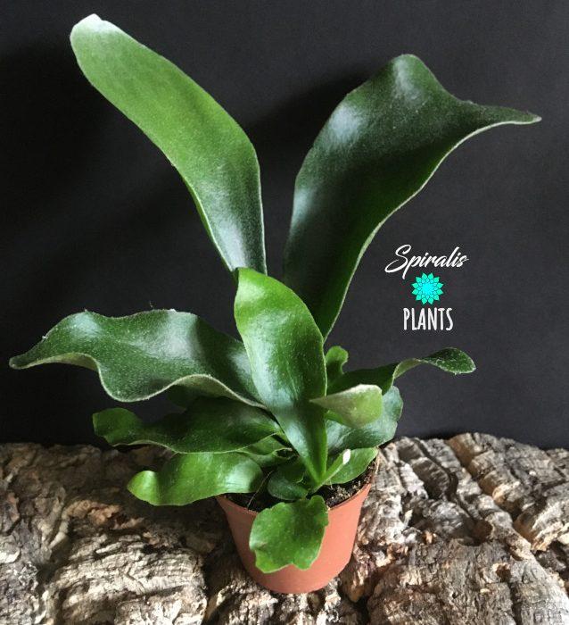 Platycerium bifurcatum baby house plant stag horn fern