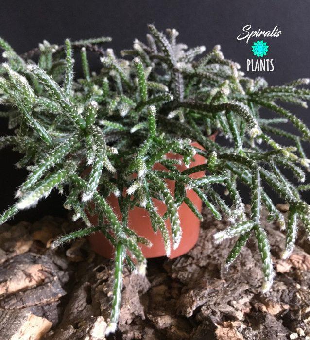 Rhipsalis pilocarpa jungle cactus trailing house plant
