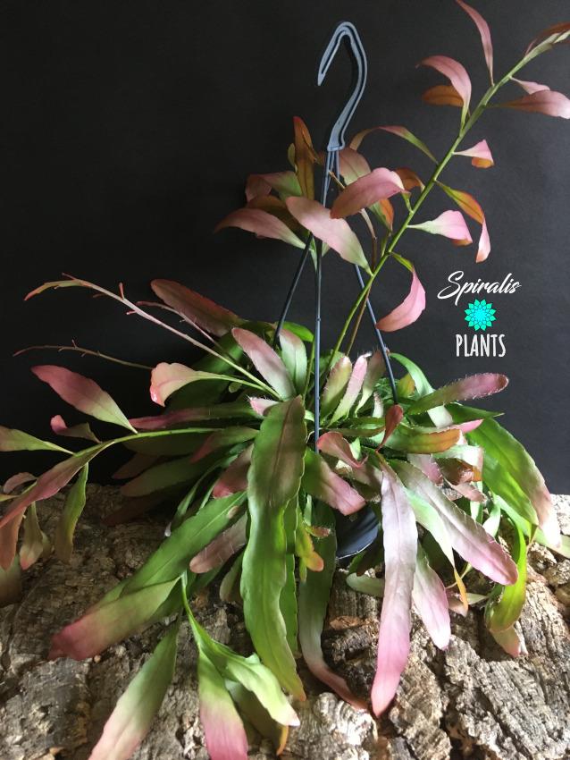 Rhipsalis ramulosa hanging house plant