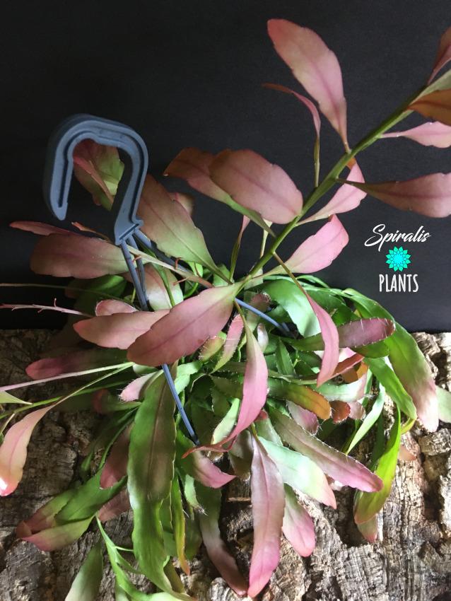Rhipsalis ramulosa pink house plants