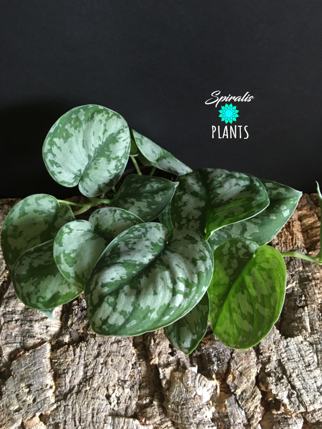 Scindapsus pictus Exotica house plant
