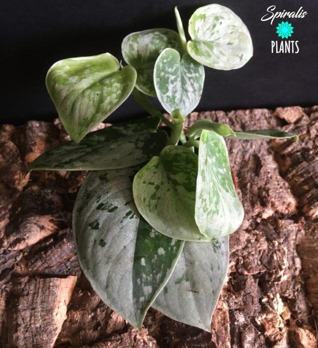 Scindapsus pictus sation pothos small plants