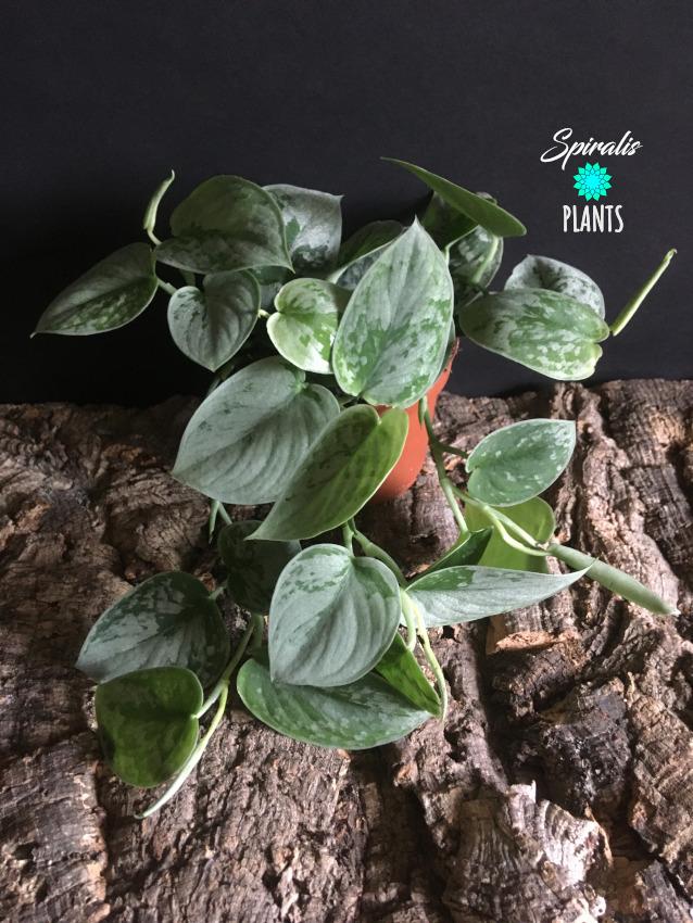 Scindapsus pictus silvery ann satin pothos climbing trailing aroids