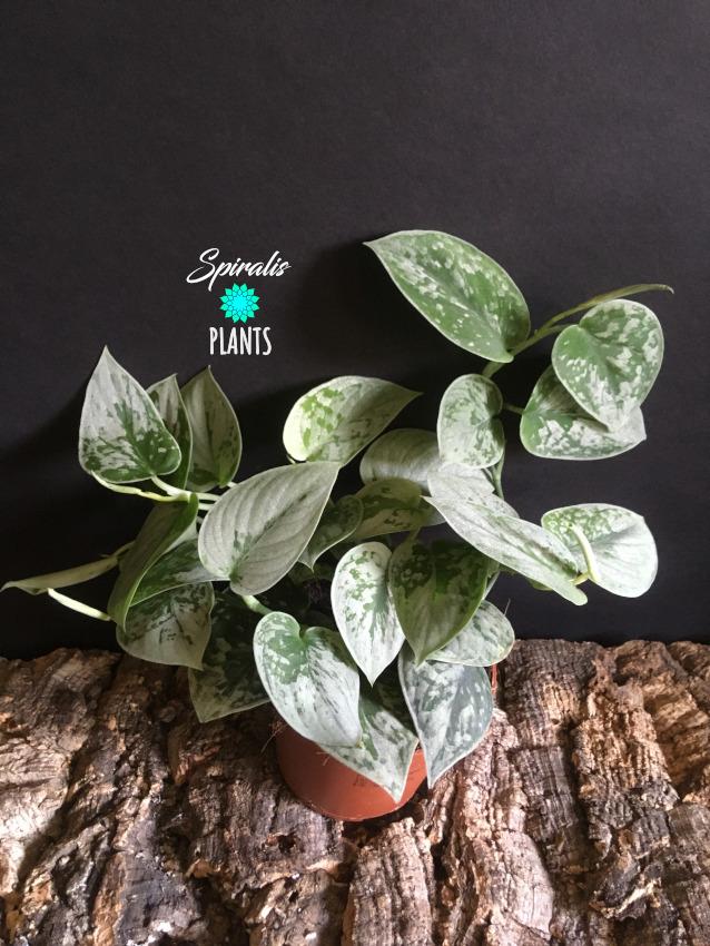 Scindapsus pictus silvery ann satin pothos trailing climbing indoor plant
