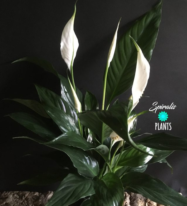 Spathiphyllum peace lily air purifying house plant