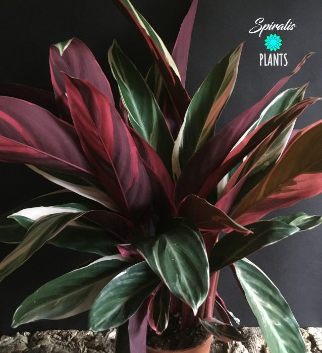Stromanthe trio star calathea maranta red tropical house plant
