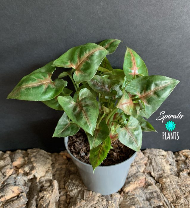 Syngonium Christmas rare aroid house indoor plant red green