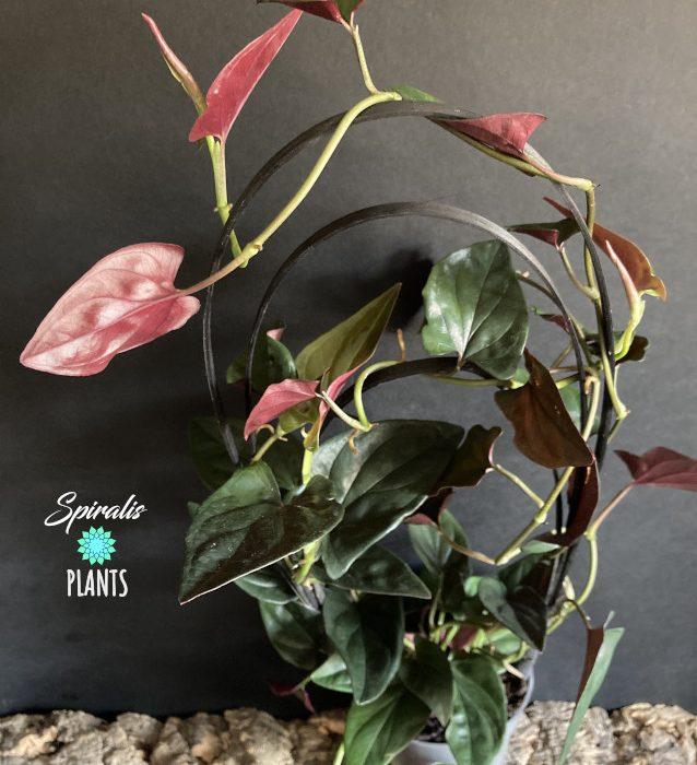 Syngonium erythrophyllum llano carti road rare aroid trailing terrarium house plant red arrow