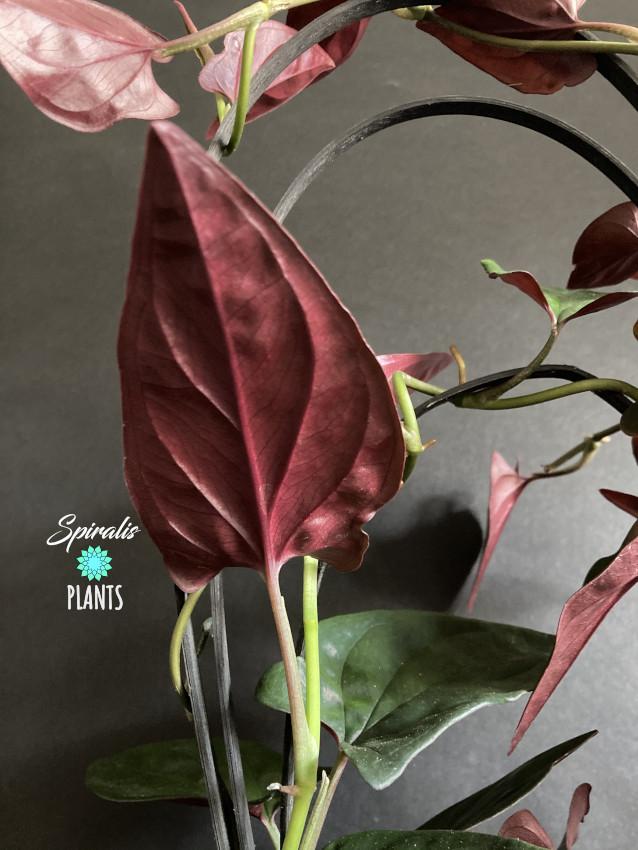 Syngonium llano carti road erythrophyllum red arrow rare terrarium climbing aroid house plant