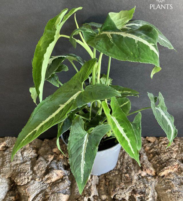 Syngonium wendlandii climbing aroid rare house plants terrarium climber