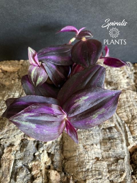 Tradescantia zebrina purpusii purple form trailing baby plant