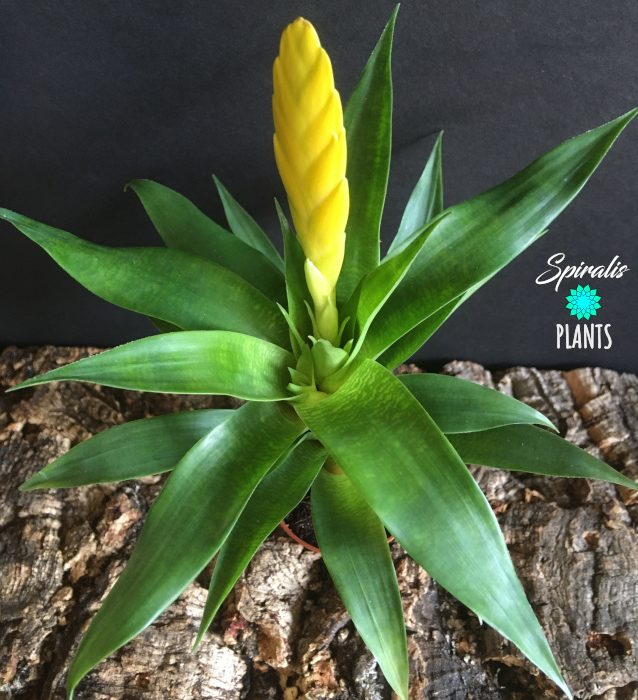 Vriesea 'Ospinea' yellow tropical bromeliad plant yellow bract