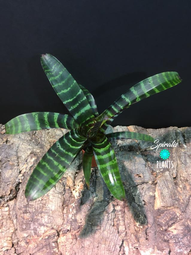 Vriesea era tropical bromeliad striped
