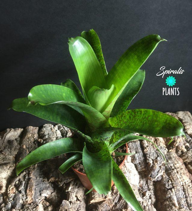 Vriesea fenestralis tropical bromeliad indoor plant