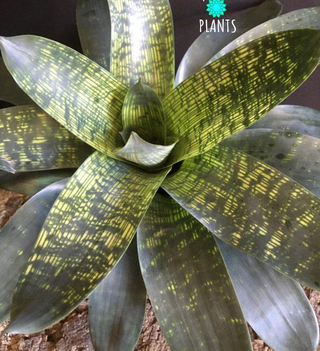Vriesea nova variegated bromeliad