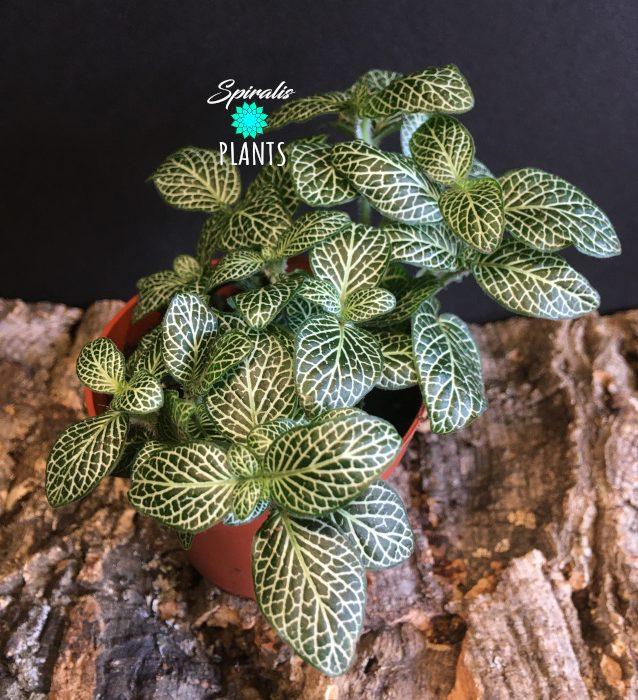 fittonia white nerve plant