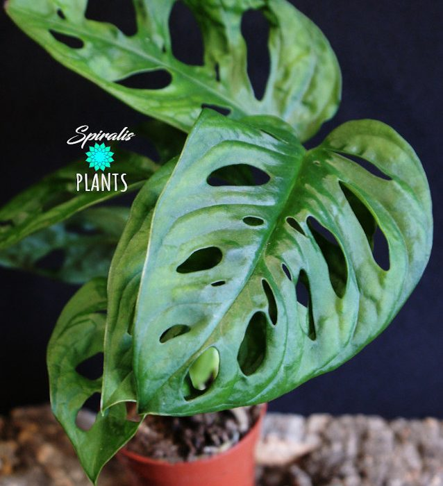 monstera monkey mask adansonii baby plant