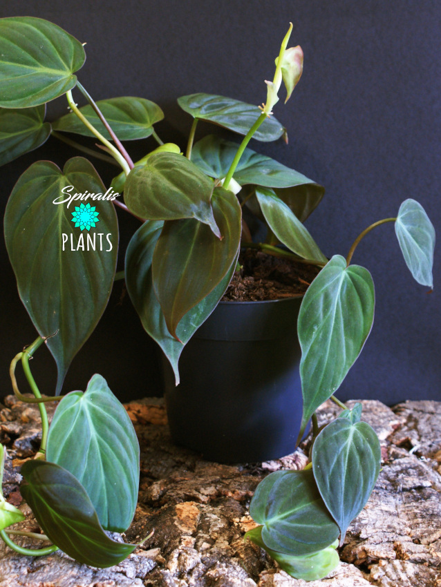 philodendron hederaceum micans trailing house plant
