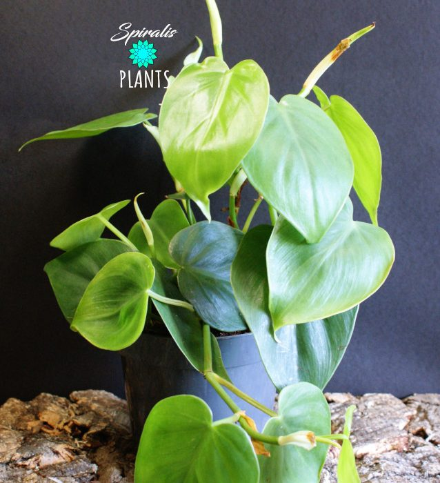 philodendron hederaceum scandens trailing house plant