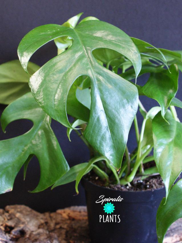 rhaphidophora tetrasperma climbing aroid house plant