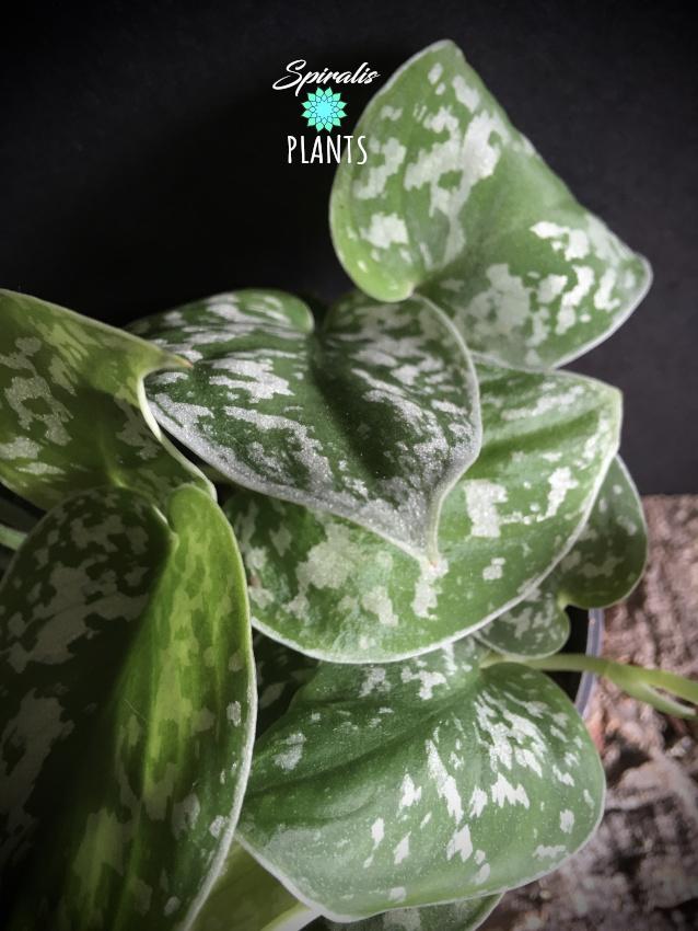 scindapsus pictus close up
