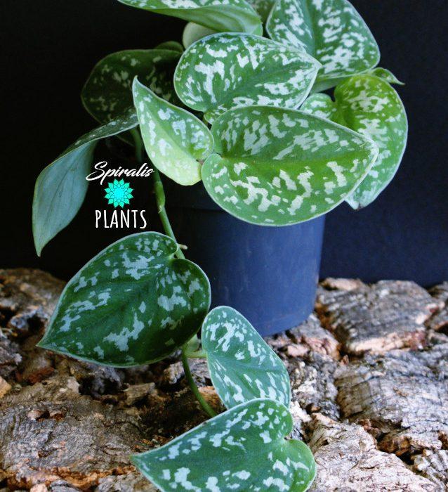 scindapsus pictus satin pothos trailing house plant