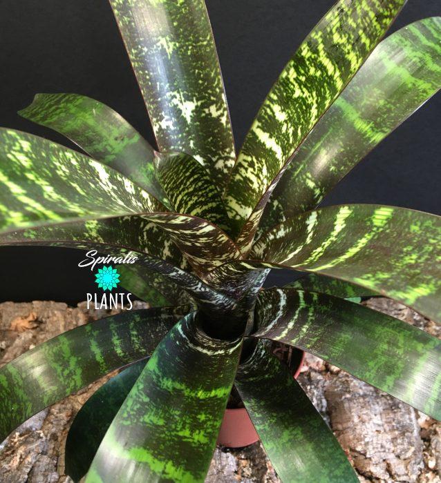 vriesea fosteriana bromeliad tropical house plant